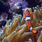 Clown Fish by Carissa Starr
