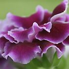 Purple Gloxinia by Robyn Selem