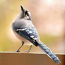 Winter Blue Jay by Robin Black