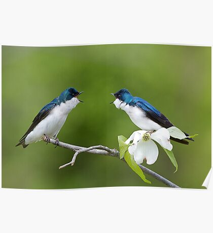 Tree Swallows on Flowering Dogwood Branch Poster
