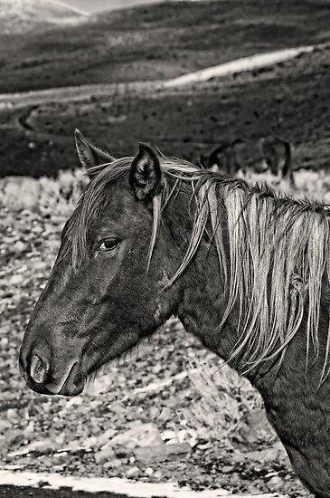Wild Stallion by Jeffrey  Sinnock