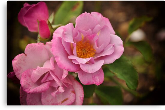 Cupid's pink by Karen E Camilleri