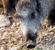 Wild boar by digoarpi