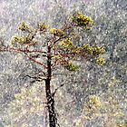30.1.2013: Pine Tree, Blizzard by Petri Volanen