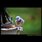 Cyanocitta Cristata - North American Blue Jay - Middle Island, New York by © Sophie Smith
