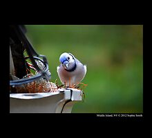 Cyanocitta Cristata - North American Blue Jay - Middle Island, New York by © Sophie W. Smith