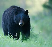 Yellowstone Black Bear by TomReichner