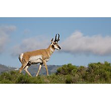 Pronghorn Antelope in Yellowstone National Park Photographic Print