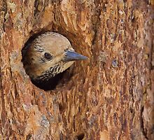 Williamson's Sapsucker, Yellowstone National Park by TomReichner