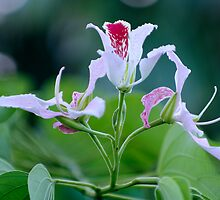 Bauhinia Monandra (Pink Orchid Tree) Flower Cluster by Kerryn Madsen-Pietsch