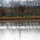 Flamingos's parade by garigots