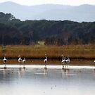 Shy flamingos by garigots