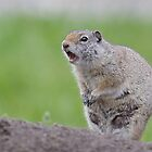 Ground Squirrel Chirping, Yellowstone National Park by TomReichner
