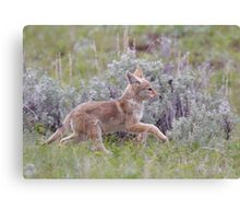Baby Coyote Running thru Sage Brush, Yellowstone Canvas Print
