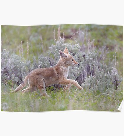 Baby Coyote Running thru Sage Brush, Yellowstone Poster