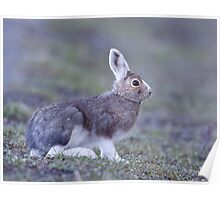 Snowshoe Hare changing back to summer's brown, Yellowstone Poster