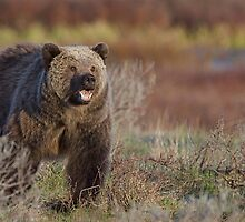 Grizzly Bear, aggressive posturing, Yellowstone National Park by TomReichner