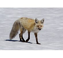 Red Fox in Snow, Yellowstone National Park Photographic Print