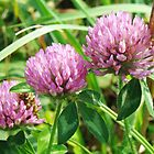 Pink Clover Wildflower - Trifolium pratense by MotherNature