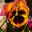 Pansy by PhotoLouis