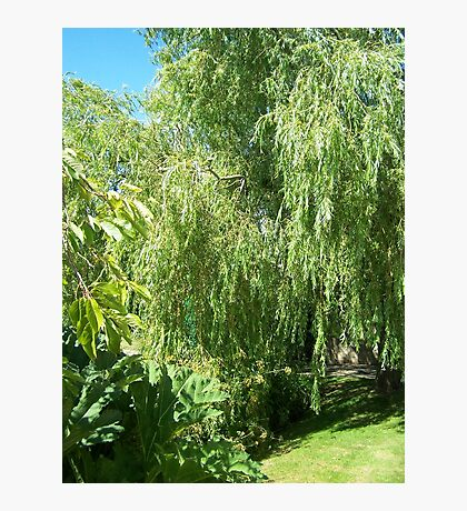 Willow Tree Photographic Print