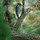 Hairy Woodpecker by George  Link