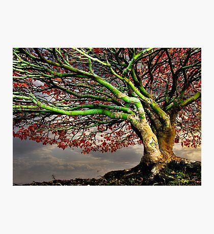 Maple Photographic Print