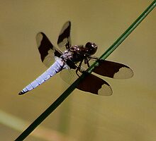Double Glass Wing by Shilohlin Pfeiffer