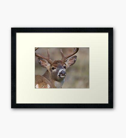 "Whitetail Buck Portrait, ""over the shoulder"" Framed Print"