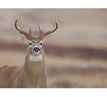 Whitetail Buck Portrait featuring rut swollen neck Photographic Print