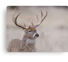Whitetail Deer Portrait - very old buck Metal Print