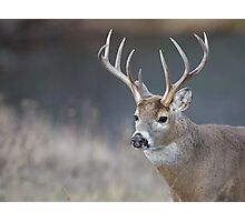 White-tailed Buck Deer with non-typical antlers, portrait Photographic Print