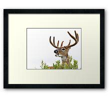 White-tailed Buck Deer with velvet antlers, summer portrait Framed Print