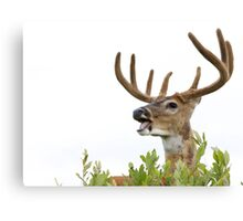 White-tailed Buck Deer with velvet antlers, summer portrait Canvas Print
