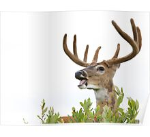 White-tailed Buck Deer with velvet antlers, summer portrait Poster