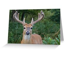 White-tailed Buck Deer with velvet antlers, summer portrait  Greeting Card