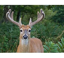 White-tailed Buck Deer with velvet antlers, summer portrait  Photographic Print