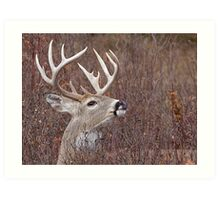 White-tailed Buck Deer with non-typical antlers, portrait Art Print