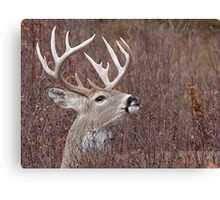 White-tailed Buck Deer with non-typical antlers, portrait Canvas Print