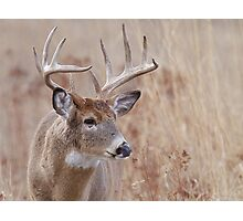 Whitetail Deer Portrait, Trophy Buck in prairie habitat Photographic Print