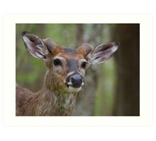 Whitetail Deer Portrait, Buck with newly emergent antlers Art Print