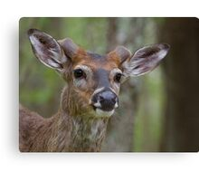 Whitetail Deer Portrait, Buck with newly emergent antlers Canvas Print