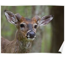 Whitetail Deer Portrait, Buck with newly emergent antlers Poster