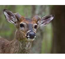 Whitetail Deer Portrait, Buck with newly emergent antlers Photographic Print