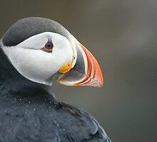 Newfoundland puffin by Jean Knowles