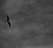 Frigate bird by AndreCosto