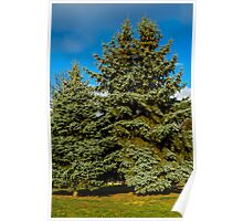 evergreen spruce Poster