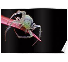 Green Crab Spider Poster