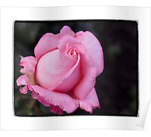 Creamy Pink Rose Poster