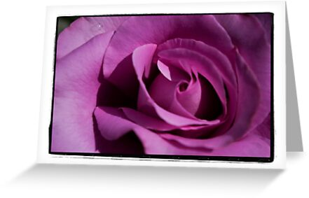 Flimsy, flowy, Dark Pink Rose by gloriart